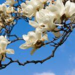 白木蓮とモクレンとコブシの違いを簡単に見分けるには?