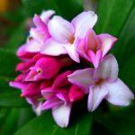 沈丁花の育て方と植え替え時期や肥料のタイミングは?